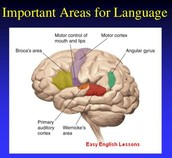 Where in the brain is important for language?