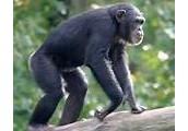 Chimpanzee Are Like Humans