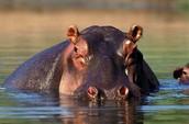 hipopotamoa