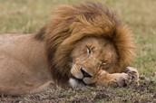 Lions sleep 20 hours