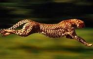 a cheetah running