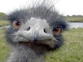 An Emus Face
