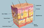 Diagram of Skin
