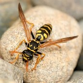 picture of the European Paper wasp