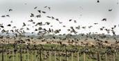argentina bird hunting
