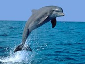 The Bottlenose Dolphin also known as Delphinidae Tursiops