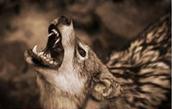 זאב ערבות מכריז על טריטוריה