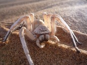 The White Lady Spider