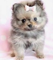 Pomsky with pink bow.