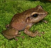 Common Coqui