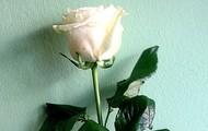 Бела ружа