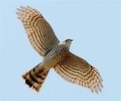 מעוף הנץ