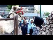 Native Animals: Camels