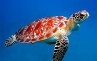 The Great Sea Turtle