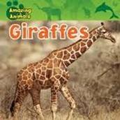 Amazing Animals: Giraffes