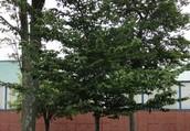 American Beech Tree
