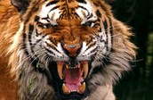 how does a tiger adapt to its enviorment ?