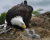 Where does the bald Eagle live?