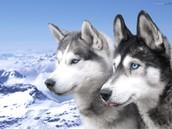 Perros tiradores de trineos