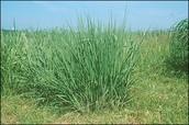 Oklahoma state grass