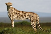 Cheetahs have a long and slender body that is covered in yellowish fur and dotted with small black spots.