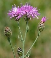 Knapweed: Fully and Half Bloomed