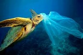 """Sea Turtle Attempting to Eat a """"Jellyfish"""""""