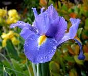 France's Flower