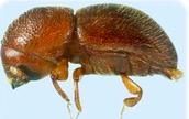 An Ambrosia Beetle