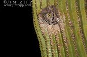 Western Screech Owl in a Cactus.