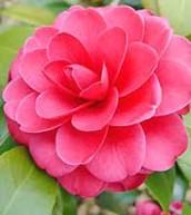 Alabama State Flower