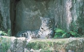 snow leopard sitting on a rock