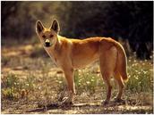 Dingoes adaptation