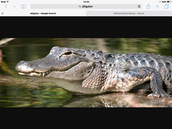 Alligator in Food Webs