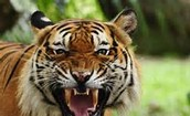 WHAT IS THE CLASSIFICATION OF A TIGER?