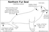 Diagram of a Fur Seal