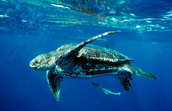 An adult Leatherback.