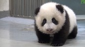 Why baby pandas are dying