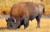 nez perce hunted bison for essential needs