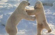 Cute polarbears!!!