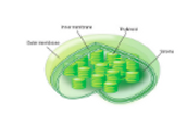 Chloroplast Diagram