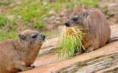 This is a Rock Hyrax eating its main food source; grass.