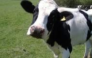 Cows?
