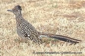 New Mexico's state bird