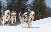 http://cottagelife.com/wp-content/uploads/2012/10/iStockphotoThinkstock-dogsled-2-e1350332968814-620x390.jpg