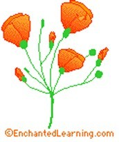 the California poppy