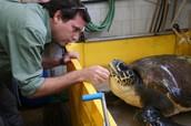טיפול בצבי הים -לטובה