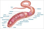 A labeled cutaway of the earthworm.