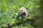 Spirit Bear and its habitat