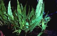 Microsorium Pteropus